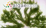 Acrosiphonia arcta (Dillwyn) Gain