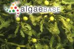 Sargassum lacerifolium (Turner) C.Agardh