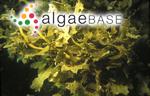 Sargassum ligulatum C.Agardh