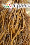Mesogloia simplex De A.Saunders