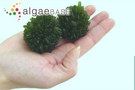 Gelidium corneum var. latifolium Greville