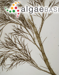 Polyostea brodiei (Dillwyn) Ruprecht