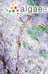 Pyropia dentata (Kjellman) N.Kikuchi & M.Miyata