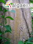 Trentepohlia effusa (Krempelhuber) Hariot