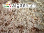 Porphyra laciniata f. linearis (Greville) Le Jolis