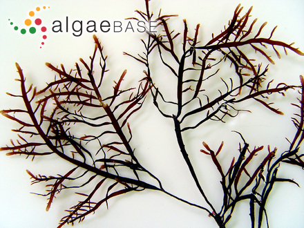 Audouinella membranacea (Magnus) Papenfuss