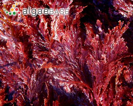 Pneophyllum lejolisii (Rosanoff) Y.M.Chamberlain