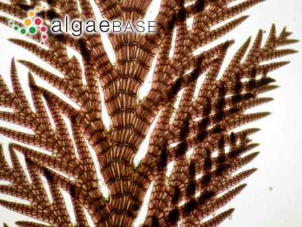 Callophyllis platyna Perestenko