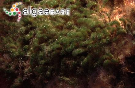 Euthora cristata (C.Agardh) J.Agardh
