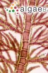 Aglaothamnion tripinnatum (C.Agardh) Feldmann-Mazoyer
