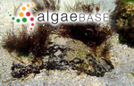 Sphaerococcus plicatus var. simplicior (C.Agardh) C.Agardh