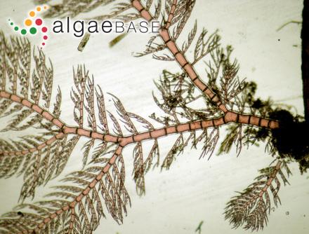 Iridaea phyllocarpa Postels & Ruprecht
