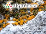 Byssus aurea Linnaeus