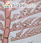 Pterothamnion plumula (J.Ellis) Nägeli