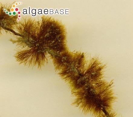 Sphaerococcus papillatus C.Agardh