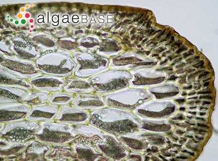 Gigartina sitchensis (Ruprecht) Yendo