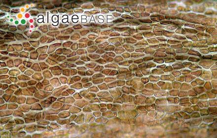Phyllophora brodiei (Turner) Endlicher