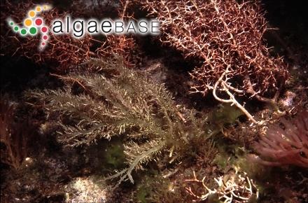 Coccotylus orientalis (A.D.Zinova & Makienko) Perestenko