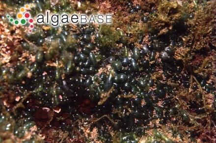 Congregatocarpus aleuticus (M.J.Wynne) Perestenko