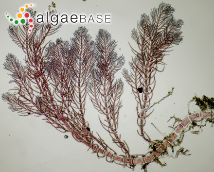 Hypophyllum ruprechtianum A.D.Zinova