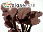 Delesseria ruscifolia (Turner) J.V.Lamouroux