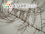 Wrangelia multifida (Hudson) J.Agardh