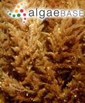 Asparagopsis armata Harvey