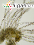 Porphyra fuscopurpurea (Dillwyn) P.Crouan & H.Crouan
