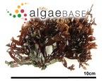 Grateloupia crispata (Okamura) Y.-P.Lee