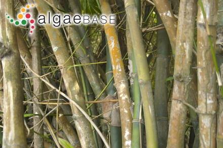 Gayella polyrhiza Rosenvinge