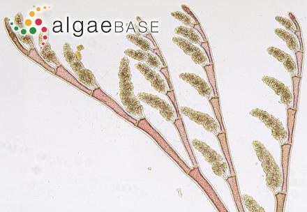 Ochlochaete dendroides P.Crouan & H.Crouan