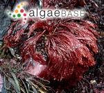 Bornetia secundiflora (J.Agardh) Thuret