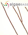 Trentepohlia afra (Massalongo) A.B.Cribb
