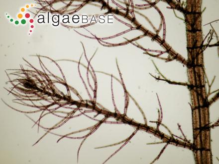 Ectocarpus holmesii Batters
