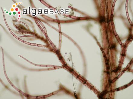 Ectocarpus parasiticus Sauvageau