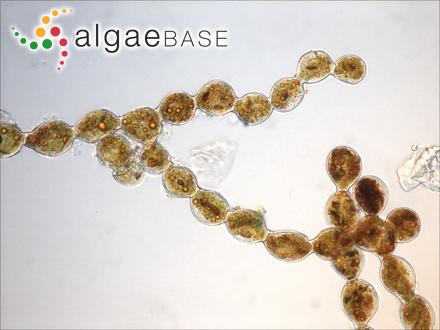 Fucus glandulosus Solander ex Turner