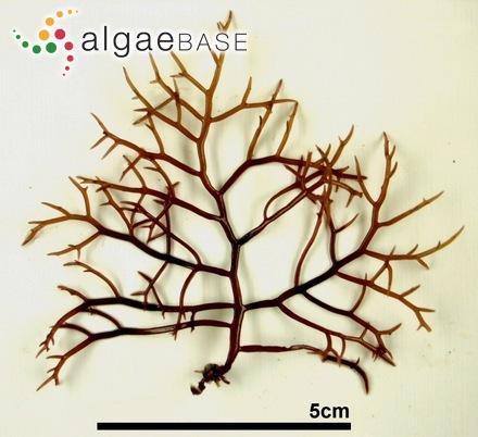 Stragularia pusilla Strömfelt