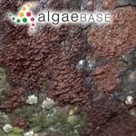 Audouinella purpurea (Lightfoot) Woelkerling