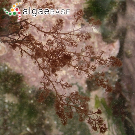 Chaetomorpha capillaris (Kützing) Børgesen