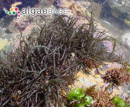 Derbesia furcellata (Zanardini) Ardissone