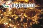 Palmaria australis (J.Agardh) Kuntze
