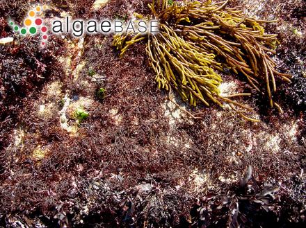 Polysiphonia secunda (C.Agardh) Zanardini