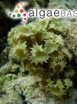 Sargassum turbinatum var. ornatum (Turner) C.Agardh