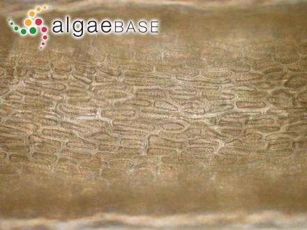 Polysiphonia myriococca Montagne