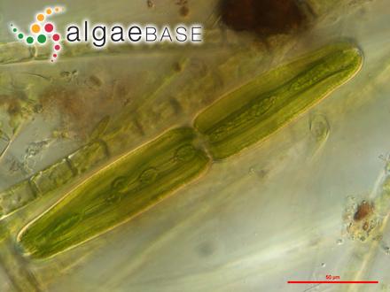 Polysiphonia nigrescens (Hudson) Greville ex Harvey
