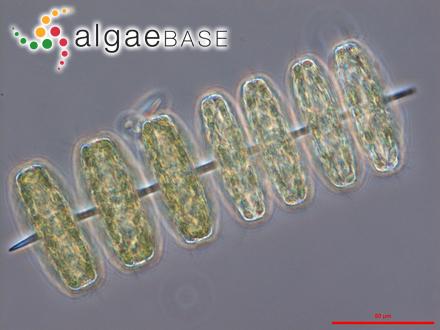 Erythrocladia gibber P.J.L.Dangeard