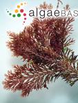 Corallina subulata J.Ellis & Solander