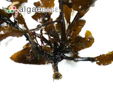 Chantransia dumontiae Rosenvinge