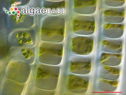 Acrochaetium microfilum C.-C.Jao