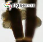 Endosiphonia thuretii (Bornet) Ardissone